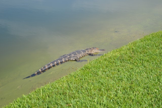 Lake Berkley alligator